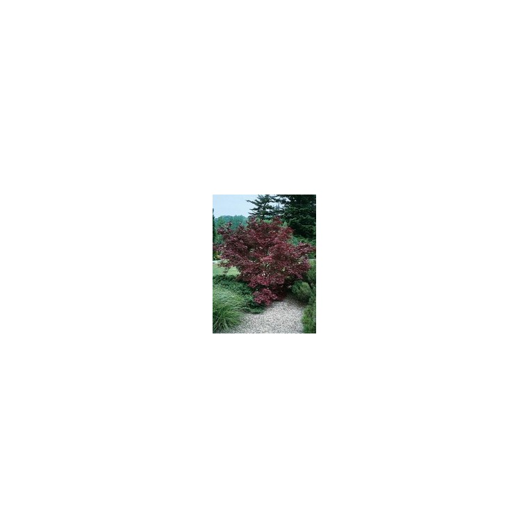 Acer Palmatum varié Erable du Japon vert en pot de 15 L 305922