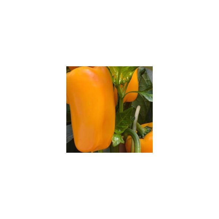 Poivron Jaune Valdor bio. Le pot compostable de 10,5 cm 41639