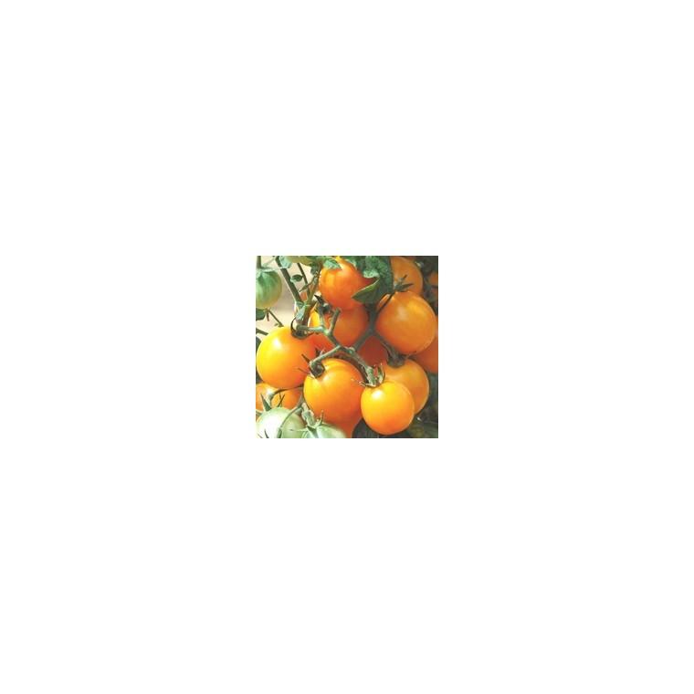 Tomate Cerise ronde Gold Nugget. Le pot de 10,5 cm