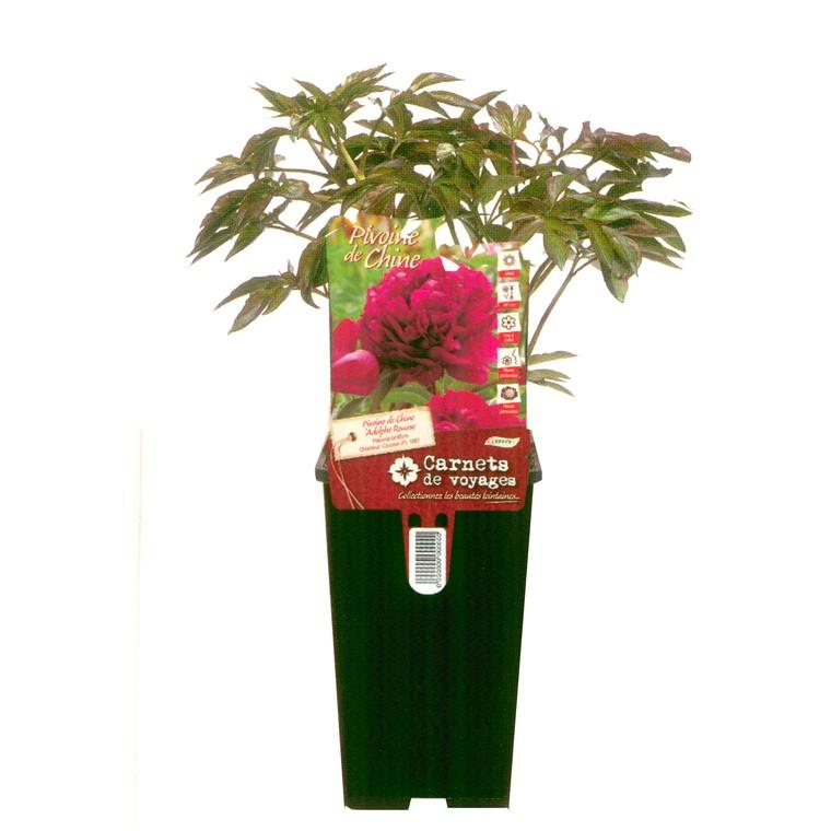 Pivoine herbacée. Le pot de 2 litres 940981