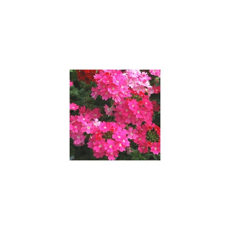 Verveine érigée multicolore en pot de 10,5 cm