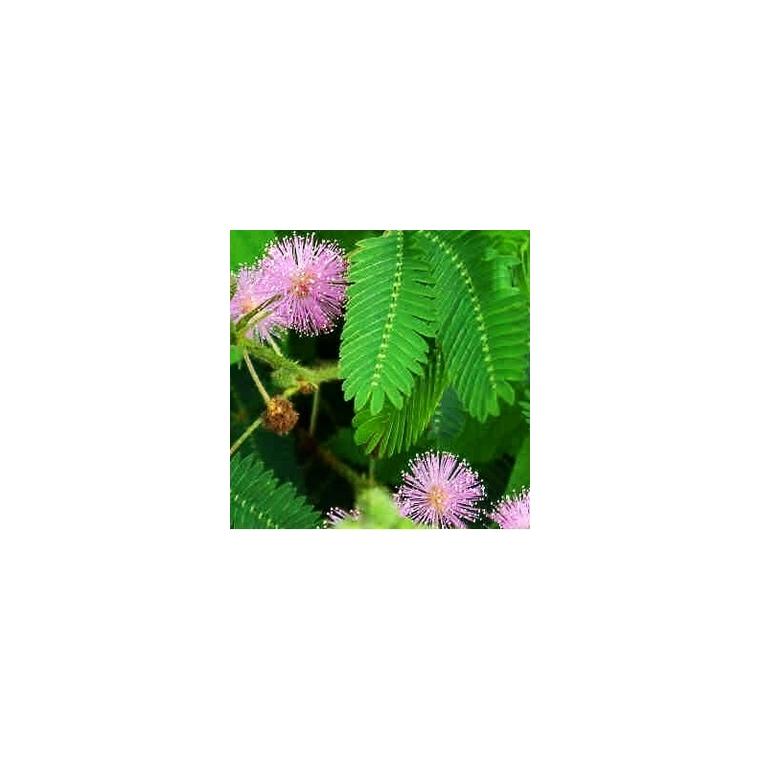 Mimosa Pudica. Le pot de 1 litre 948756