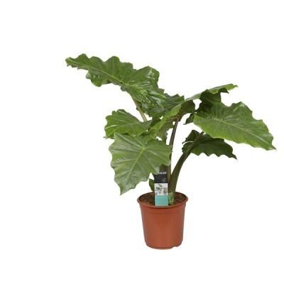 Alocasia Portodora Pot Ø35 cm H150 cm 952054