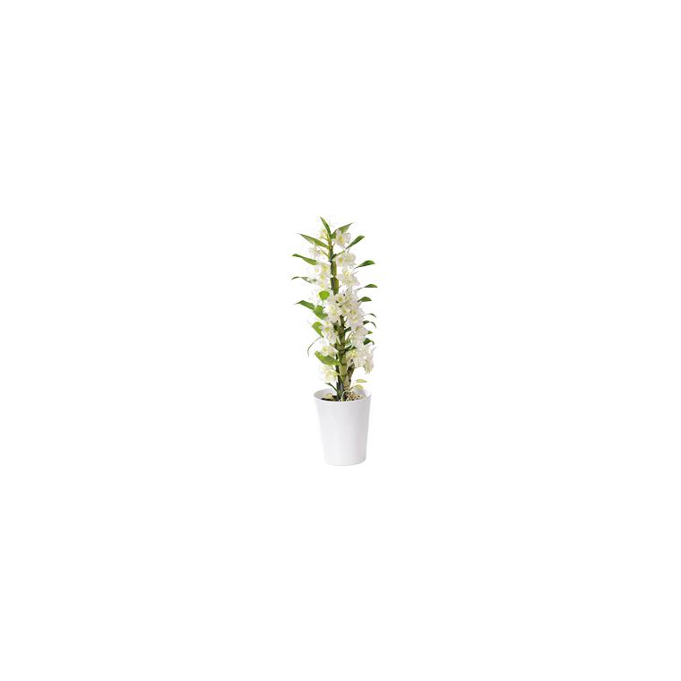 Orchidée Dendrobium 952629