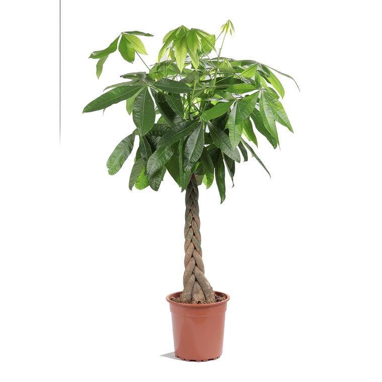Pachira tronc tressé ou Châtaignier de Guyane Ø27 cm/ H 150 cm 952782