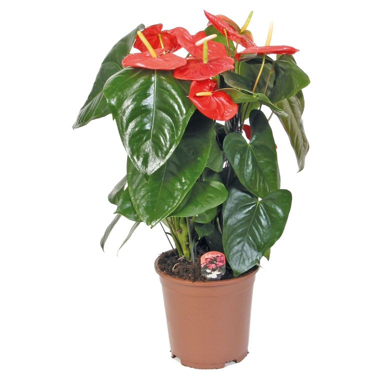 ANTHURIUM pot 14cm de diamètre 953706