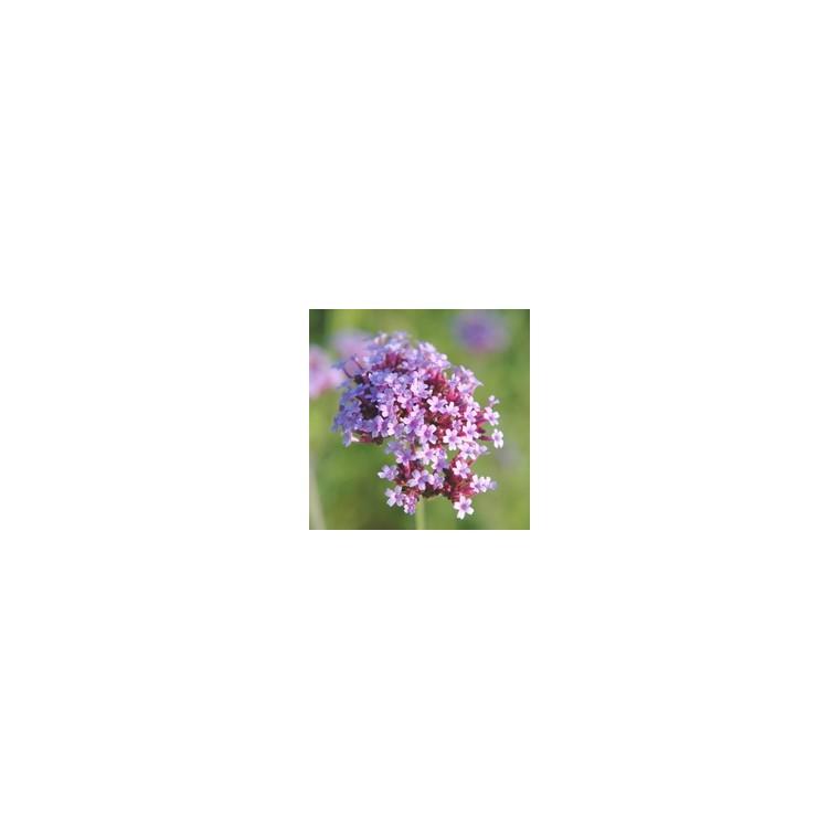 Verveine retombante multicolore en pot de 10,5 cm 352223