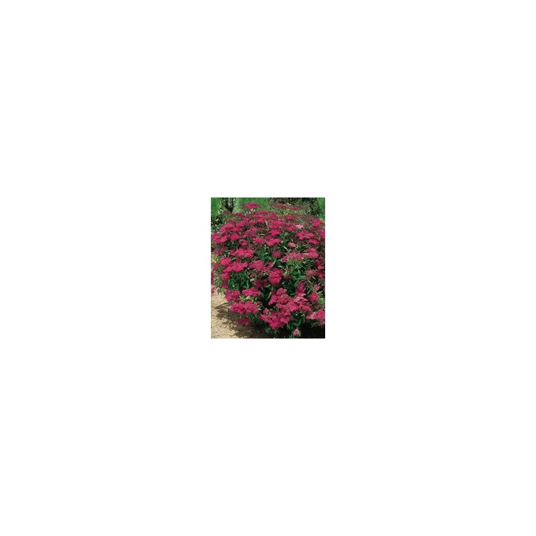 Spirea Japonica Anthony Waterer - Pot de 5L 928152