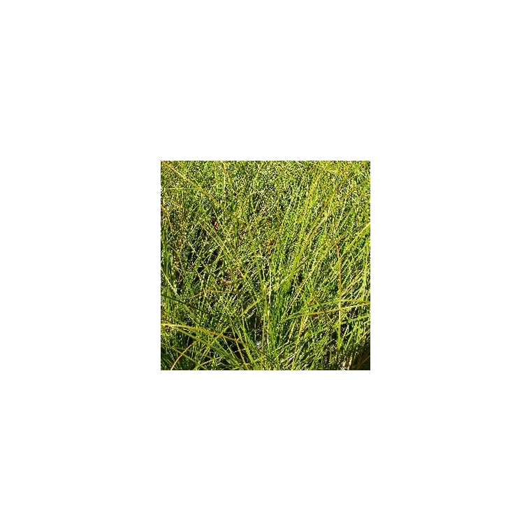 Carex Testacea. Le pot de 1 litre 116028