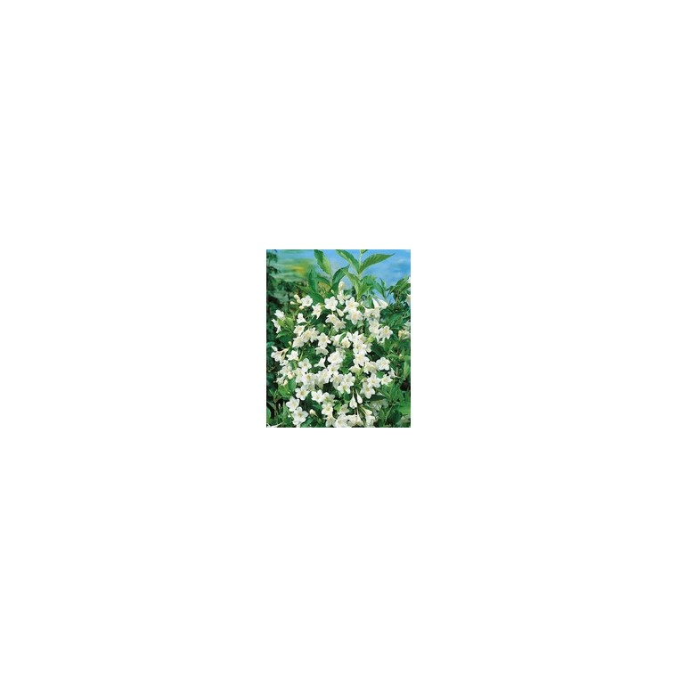 Weigela Snowflake – Pot de 4L 958466