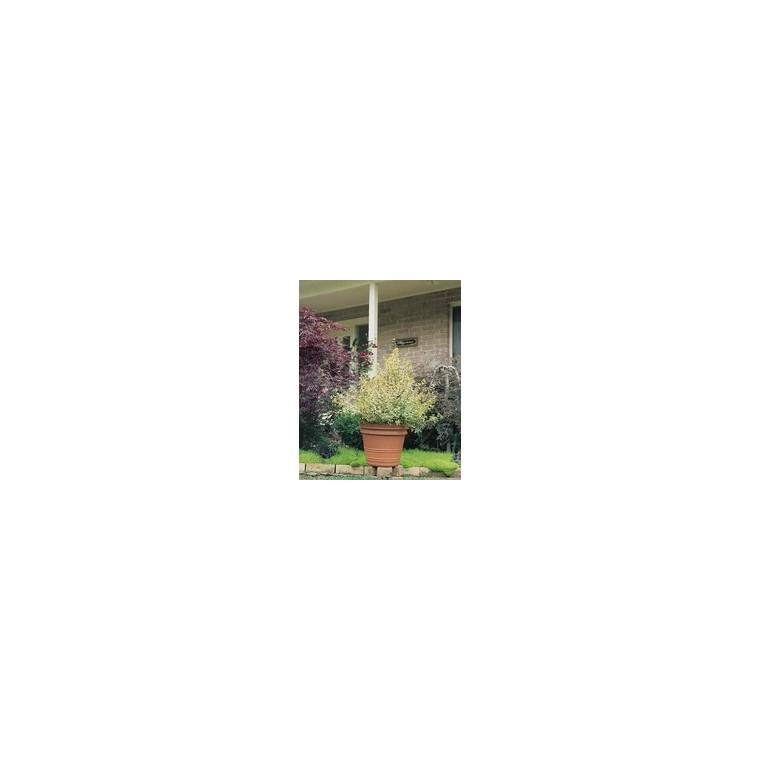 Abelia Grandiflora Confetti pot 3 L 933776