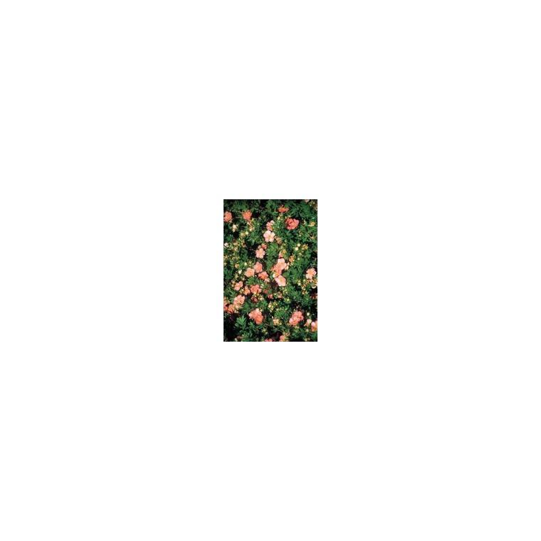 Potentilla Fruticosa Variée Jaune – Pot de 3L 364047