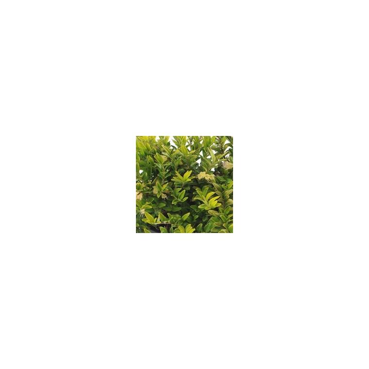Lonicera Nitida ou Chèvrefeuille en pot de 10 L 919289