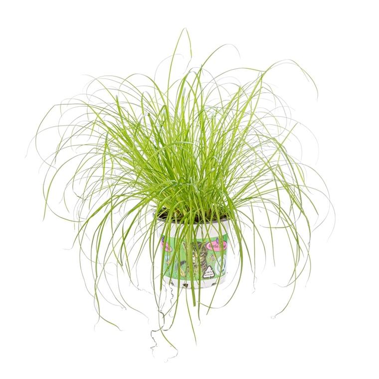 Cyperus Zumula ou Herbe à chat pot Ø12 cm 961266