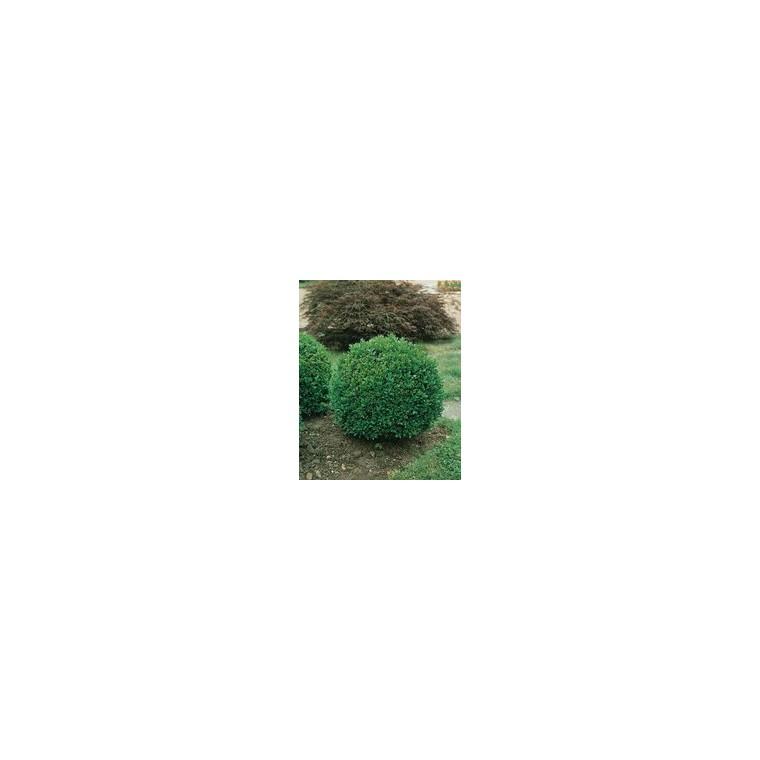 Buxus Microphylla Faulkner ou Buis Mini tige en pot 9 L 476496