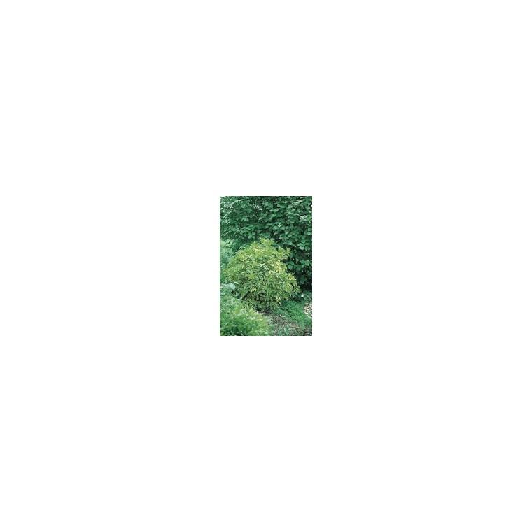 Sambucus Nigra  Aurea - Pot de 5L 461822