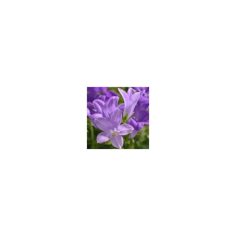 Campanule des murs. La barquette de 6 plants 794368