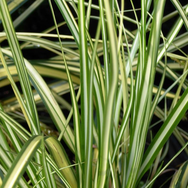 Carex. Le pot de 10,5 cm 963211