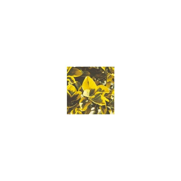 Euonymus variés. Le pot de 10.5 cm 346468