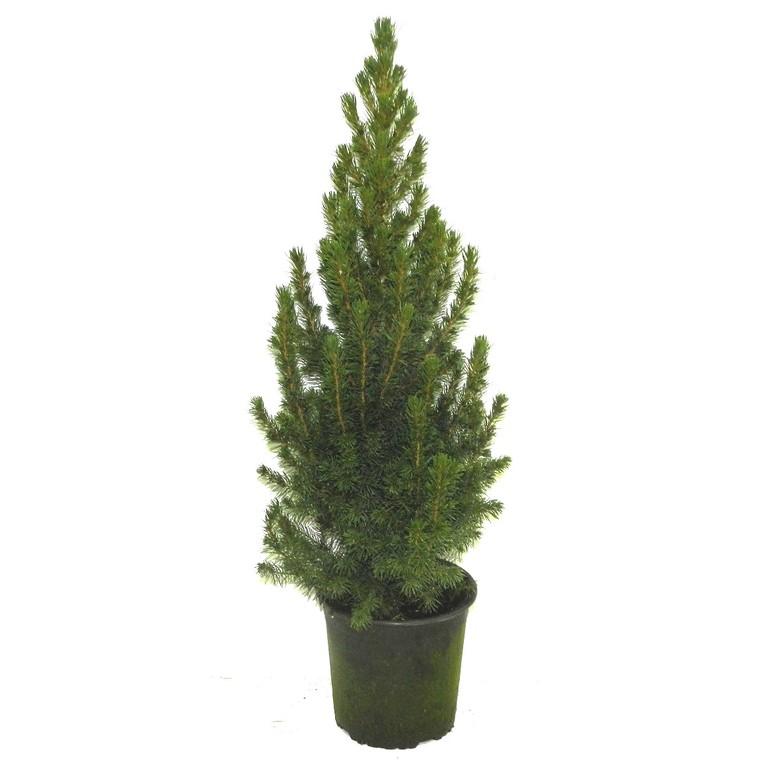 Picea glauca conica vert en pot de 0,5 L
