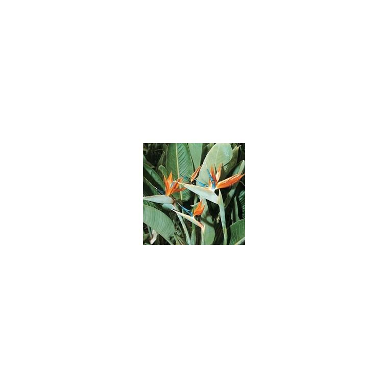 Strelitzia Reginae ou Oiseau du Paradis orange en pot de 12 L 347775