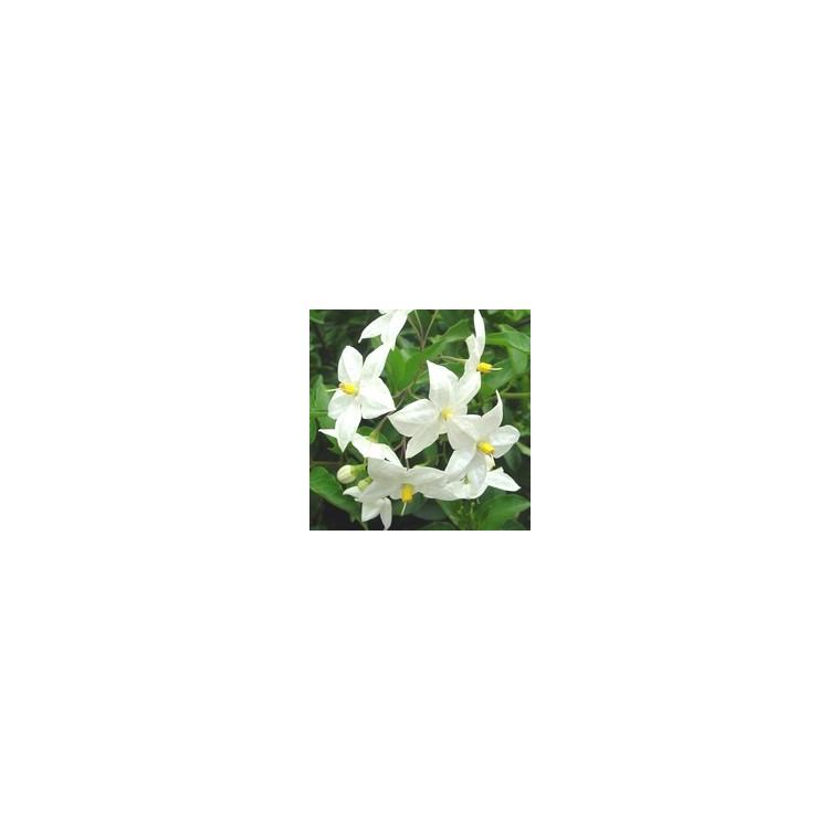 Solanum Jasminoïdes. Le pot de 3 litres 859335