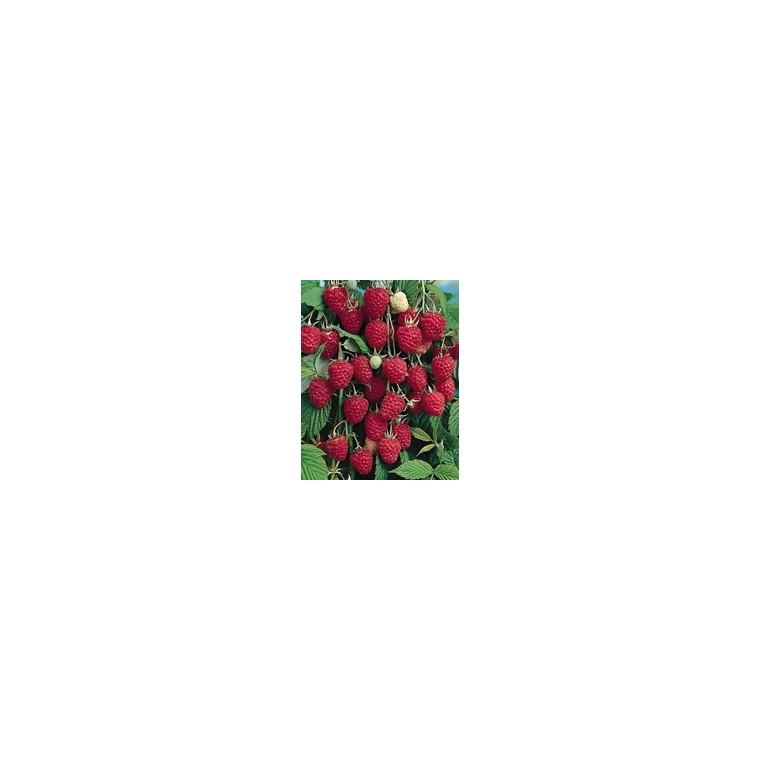 Framboisier Belle De Malicorne®. En racine nue, botte de 5 plants 302457