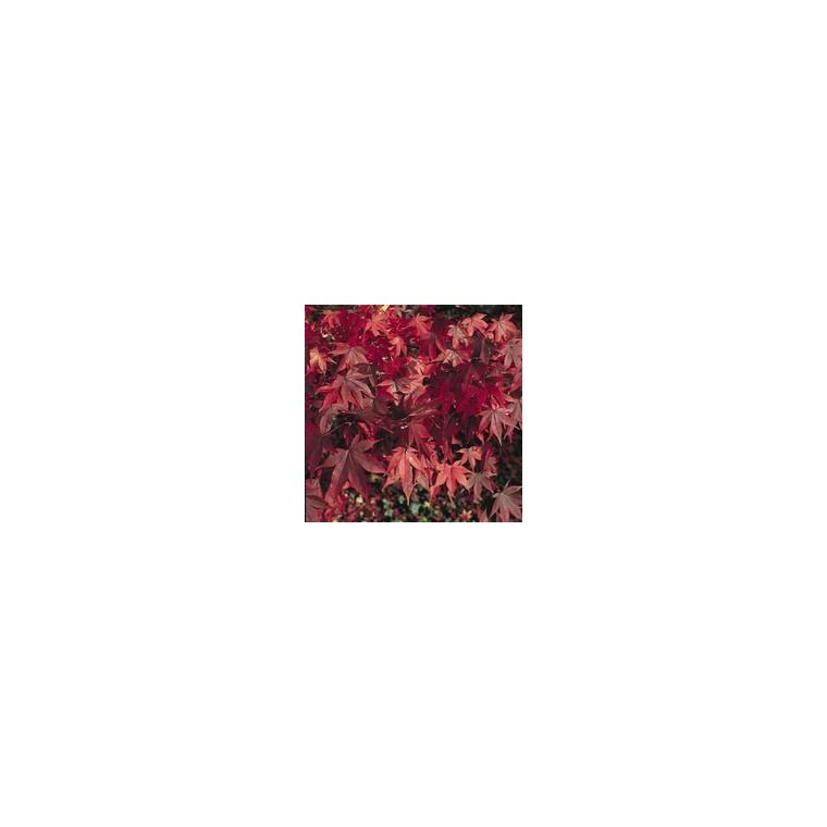 Acer Palmatum Atropurpureum rouge en pot de 3 L 560994
