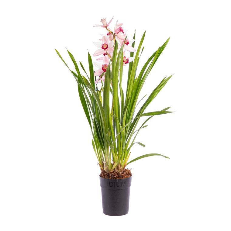 Orchidée Cymbidium 971491