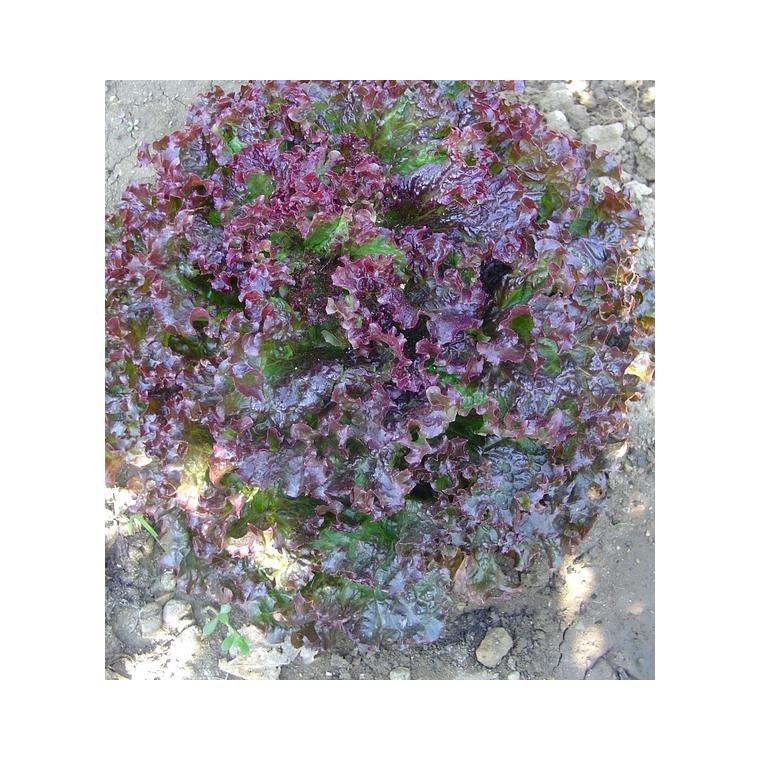 Laitue Lolo Rouge Loka. La barquette de 12 plants 447439