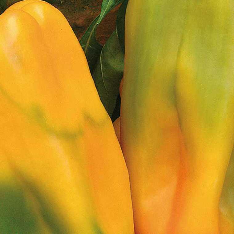 Poivron Petit Marseillais bio. La barquette de 3 plants 974987