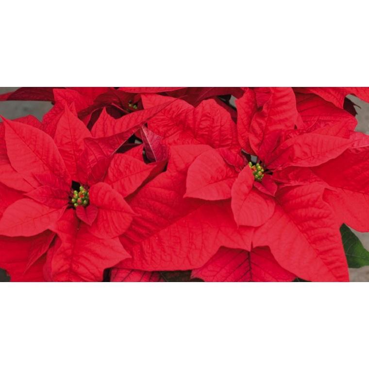 Poinsettia rouge en pot Ø 16 cm 975414