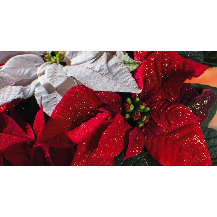 Poinsettia pailleté rouge en pot Ø 16 cm 975415