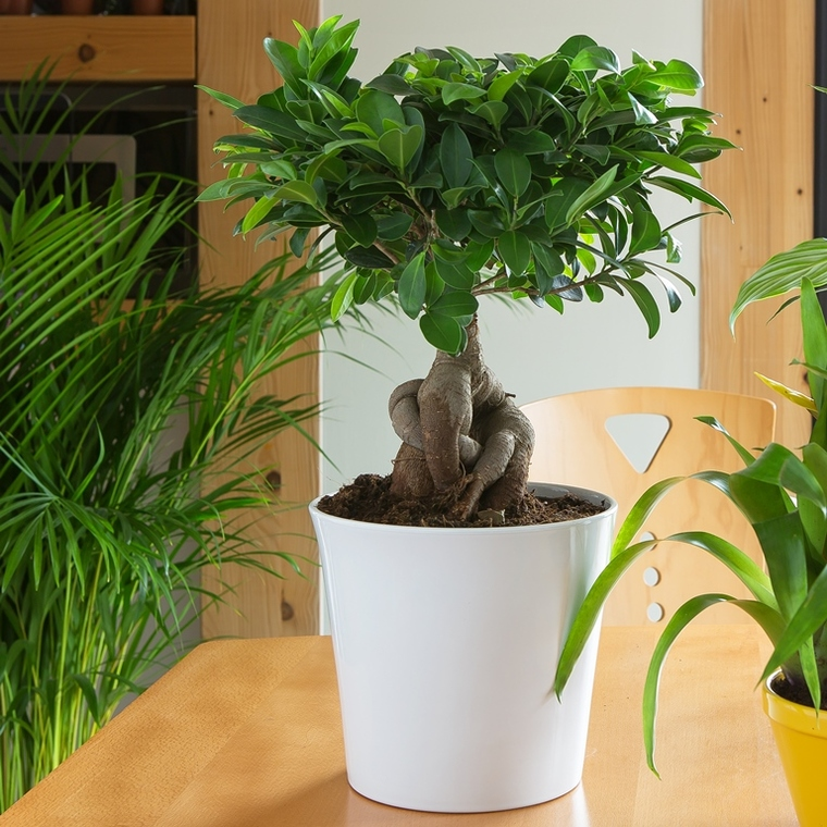 Ficus Microcarpa Ginseng + cp 98699