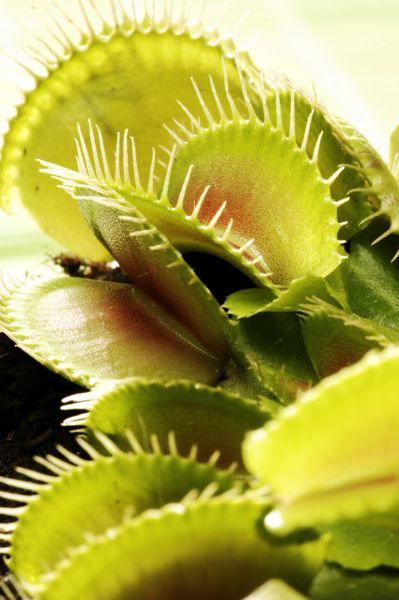 Les plantes carnivores botanic for Tous les plantes
