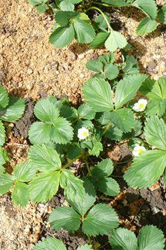 Le paillis potager botanic®, testé et approuvé !