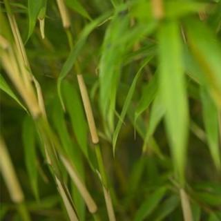 BlocConseil_les-bambous-plantes-exotiques