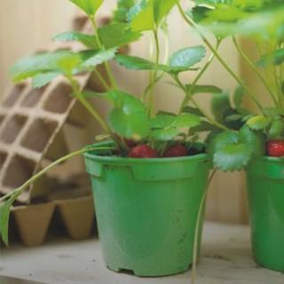 BlocConseil_les-fraisiers-cultiver-la-gourmandise