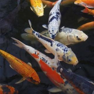 BlocConseil_les-poissons-du-bassin