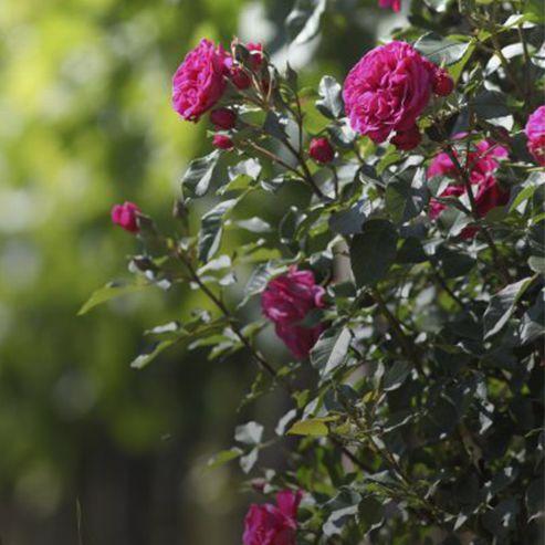 planter-ses-rosiers_BlocConseil