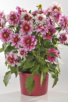 BlocConseil_preparer-la-floraison-des-dahlias