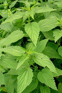 Comment pr parer le purin d 39 ortie conseil jardin botanic botanic - Comment utiliser le purin d ortie ...