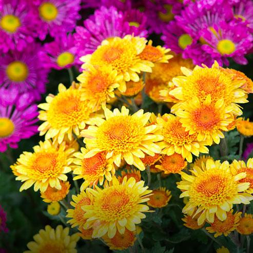 bouturer-les-chrysanthemes_BlocConseil