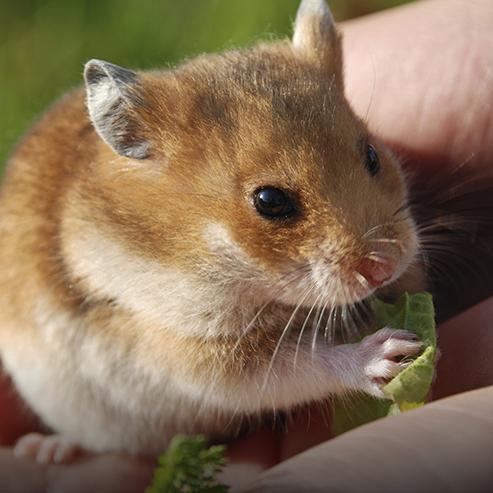 Hamster : champion de la roue en solitaire