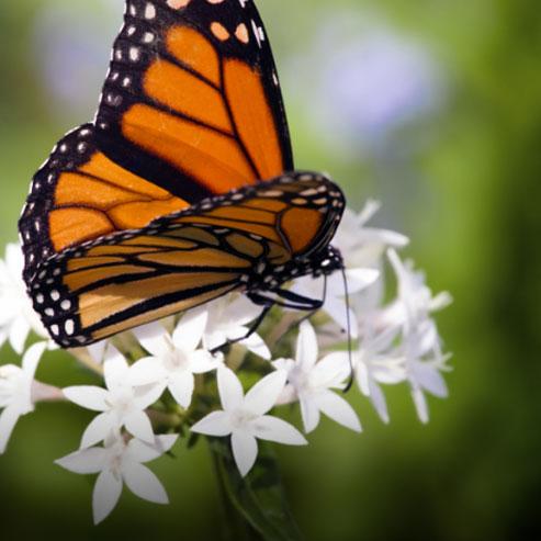 BlocConseil_inviter-les-papillons-dans-son-jardin
