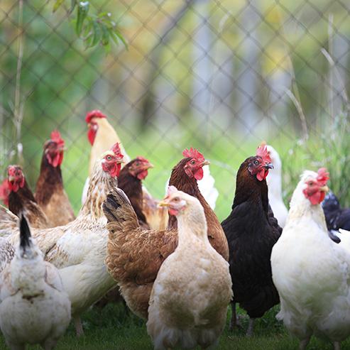 BlocConseil_les-races-de-poules
