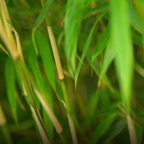 BlocConseil_limiter-les-pousses-de-bambous