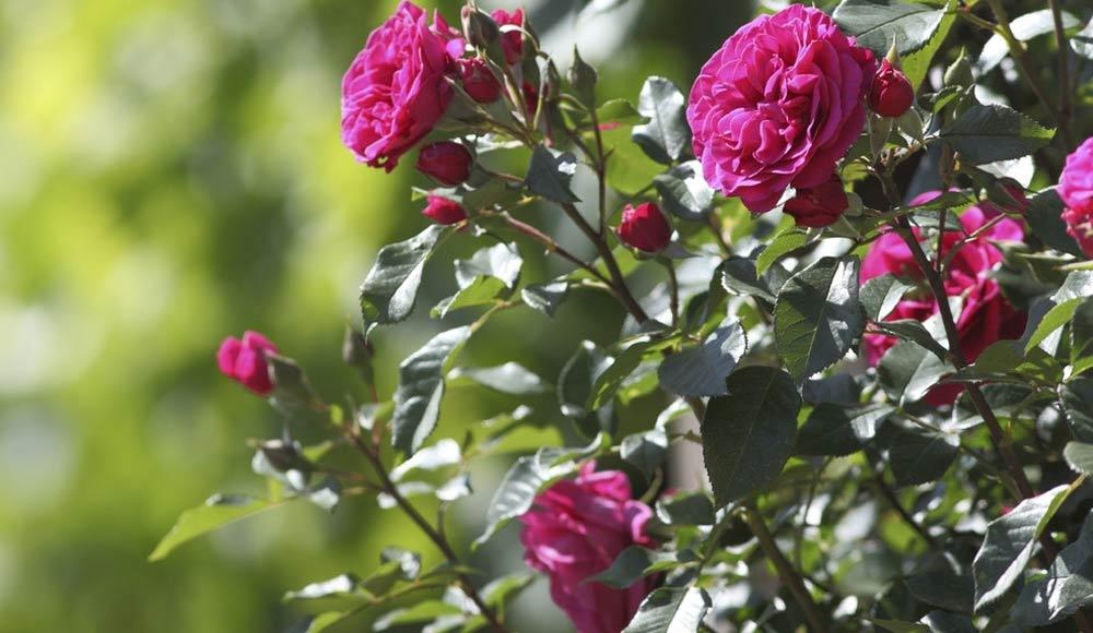 Des rosiers dans son jardin