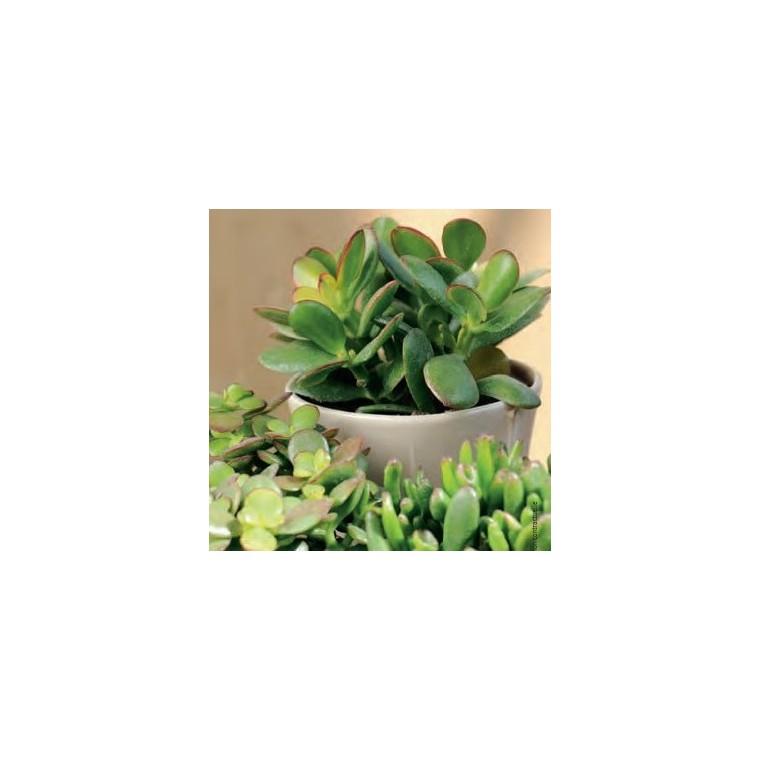 crassula botanic. Black Bedroom Furniture Sets. Home Design Ideas