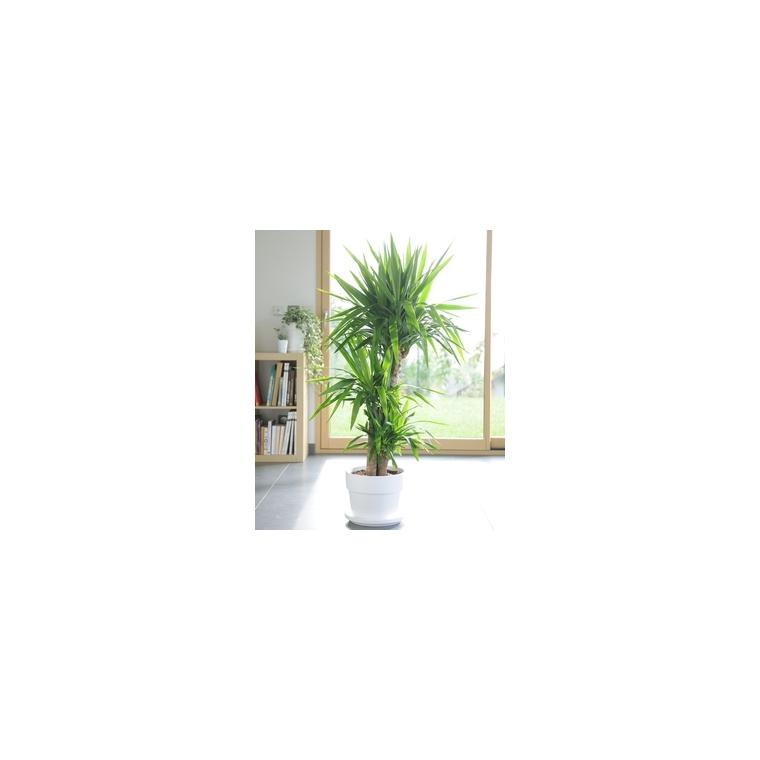 yucca le pot de 26 cm plantes d 39 int rieur facile entretenir maison botanic. Black Bedroom Furniture Sets. Home Design Ideas